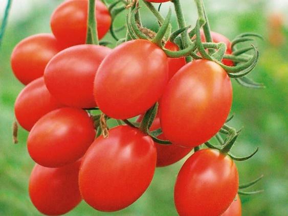 千禧-番茄